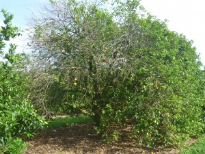 Citrus greening in Florida, which cannot be cured.