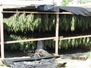 An illegal pot grow in Porterville. Photo courtesy County of Tulare.
