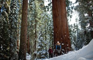 Sequoia National Park is only a short drive away. Courtesy/Visalia Convention and Visitors' Bureau