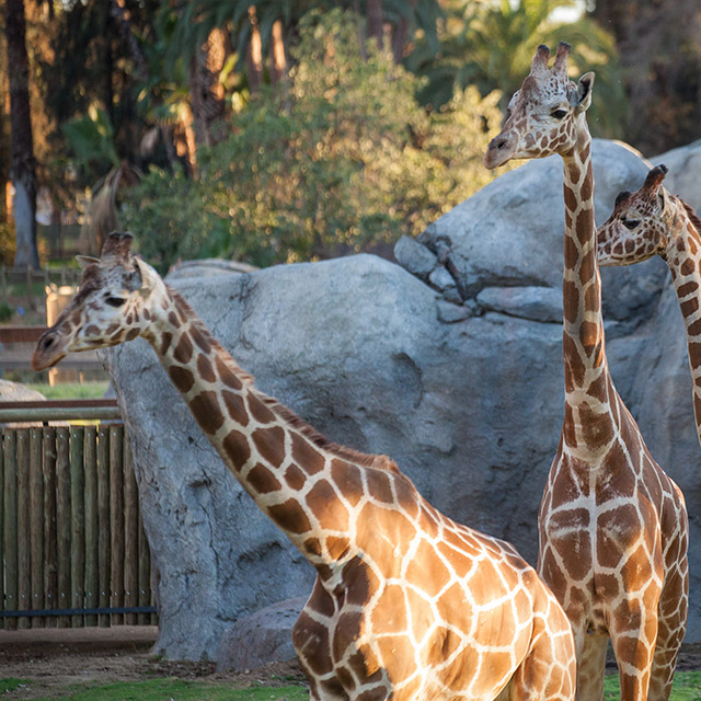 Fresno Chaffee Zoo Launches New Evenings on the Savannah